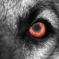 6 ss wolf's eye-sm
