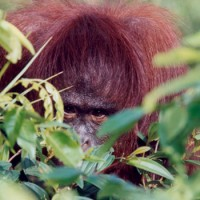 Peek-A-Boo with an orangutan
