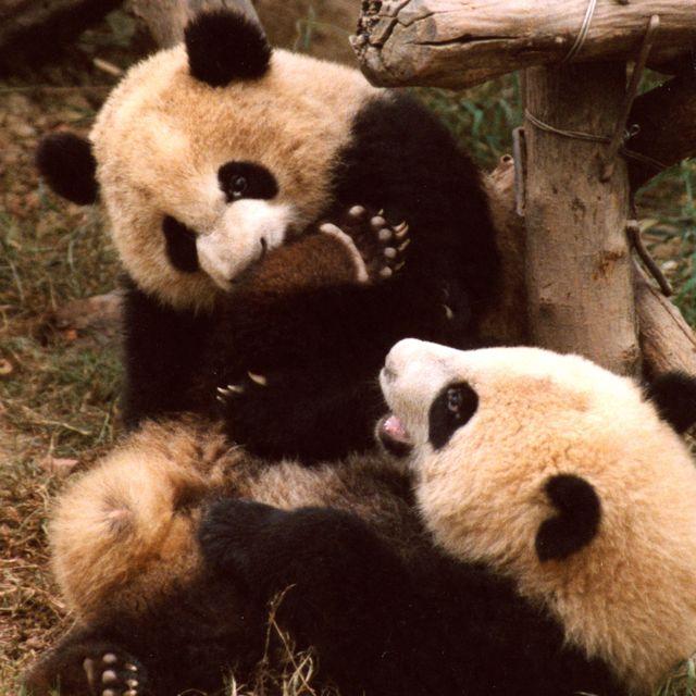 panda disease